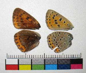 ( - RVcoll.14-C894)  @11 [ ] Copyright (2015) Vlad Dinca Institut de Biologia Evolutiva (CSIC-UPF)
