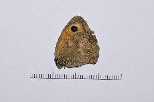 ( - RVcoll16H764)  @11 [ ] copyright (2016) Roger Vila Institut de Biologia Evolutiva (CSIC-UPF), Butterfly Diversity and Evolution Lab