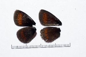 ( - RVcoll15H198)  @11 [ ] copyright (2016) Roger Vila Institut de Biologia Evolutiva (CSIC-UPF), Butterfly Diversity and Evolution Lab
