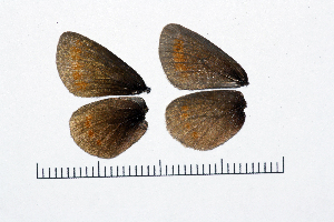 ( - RVcoll15J569)  @11 [ ] copyright (2016) Roger Vila Institut de Biologia Evolutiva (CSIC-UPF), Butterfly Diversity and Evolution Lab