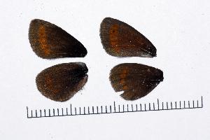 ( - RVcoll15J583)  @11 [ ] copyright (2016) Roger Vila Institut de Biologia Evolutiva (CSIC-UPF), Butterfly Diversity and Evolution Lab