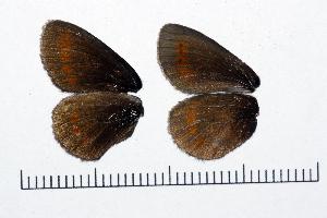 ( - RVcoll15J590)  @11 [ ] copyright (2016) Roger Vila Institut de Biologia Evolutiva (CSIC-UPF), Butterfly Diversity and Evolution Lab