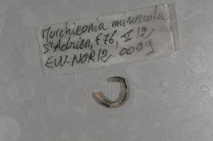 (Murchieonia - EW-NOR12-0009)  @12 [ ] Copyright (2012) Thibaud Decaens Laboratoire ECODIV, Univ Rouen