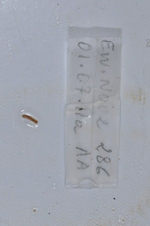 (Benhamiinae - EW-NOU2-286)  @13 [ ] Copyright (2011) Thibaud Decaëns Laboratoire ECODIV, Univ Rouen