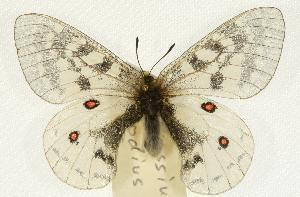 (Parnassius clodius - EZ1388CNC)  @14 [ ] Unspecified (default): All Rights Reserved  Unspecified Unspecified