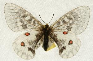 (Parnassius clodius - EZ1391CNC)  @14 [ ] Unspecified (default): All Rights Reserved  Unspecified Unspecified