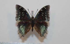(Charaxes kheili - BC-Basq1646)  @14 [ ] Unspecified (default): All Rights Reserved  Unspecified Unspecified
