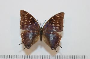 (Charaxes virilis - BC-Basq1690)  @14 [ ] Unspecified (default): All Rights Reserved  Unspecified Unspecified