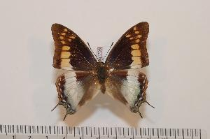 (Charaxes viola - BC-Basq1705)  @14 [ ] Unspecified (default): All Rights Reserved  Unspecified Unspecified