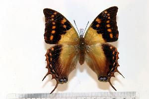 (Charaxes cowani - BC-Basq1721)  @14 [ ] Unspecified (default): All Rights Reserved  Unspecified Unspecified