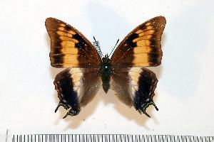 (Charaxes kirki - BC-Basq1742)  @14 [ ] Unspecified (default): All Rights Reserved  Unspecified Unspecified