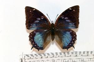 (Charaxes smaragdalis caerulea - BC-Basq1750)  @13 [ ] Unspecified (default): All Rights Reserved  Unspecified Unspecified