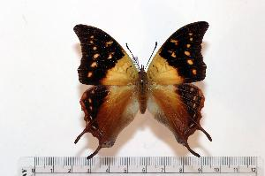 (Charaxes antamboulou - BC-Basq1752)  @14 [ ] Unspecified (default): All Rights Reserved  Unspecified Unspecified