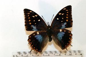 (Charaxes imperialis - BC-Basq1782)  @14 [ ] Unspecified (default): All Rights Reserved  Unspecified Unspecified