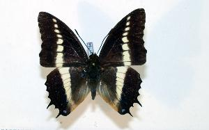 (Charaxes brutus - BC-Basq1784)  @13 [ ] Unspecified (default): All Rights Reserved  Unspecified Unspecified