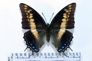 (Charaxes castor - BC-Basq1786)  @14 [ ] Unspecified (default): All Rights Reserved  Unspecified Unspecified