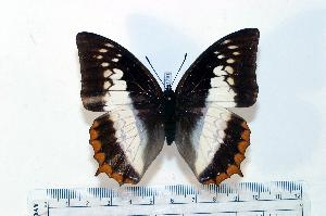 (Charaxes protoclea - BC-Basq1791)  @14 [ ] Unspecified (default): All Rights Reserved  Unspecified Unspecified
