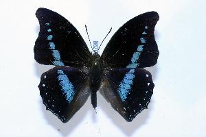 (Charaxes porthos - BC-Basq1796)  @13 [ ] Unspecified (default): All Rights Reserved  Unspecified Unspecified
