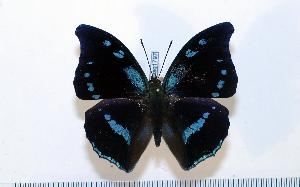 (Charaxes mycerina - BC-Basq1797)  @13 [ ] Unspecified (default): All Rights Reserved  Unspecified Unspecified