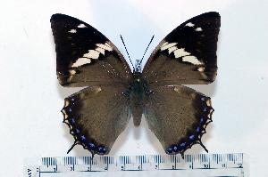 (Charaxes tiridates - BC-Basq1799)  @14 [ ] Unspecified (default): All Rights Reserved  Unspecified Unspecified