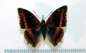 (Charaxes lucretius - BC-Basq1803)  @14 [ ] Unspecified (default): All Rights Reserved  Unspecified Unspecified