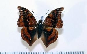 (Charaxes nichetes - BC-Basq1804)  @13 [ ] Unspecified (default): All Rights Reserved  Unspecified Unspecified