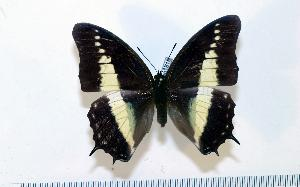 (Charaxes hildebrandti - BC-Basq1818)  @13 [ ] Unspecified (default): All Rights Reserved  Unspecified Unspecified
