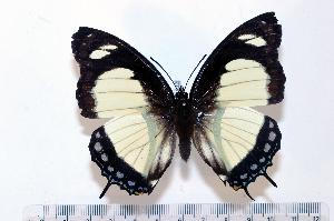 (Charaxes nobilis - BC-Basq1832)  @14 [ ] Unspecified (default): All Rights Reserved  Unspecified Unspecified