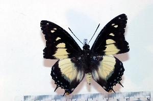 (Charaxes superbus - BC-Basq1835)  @14 [ ] Unspecified (default): All Rights Reserved  Unspecified Unspecified