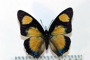 (Charaxes fournierae fournierae - BC-Basq1838)  @14 [ ] Unspecified (default): All Rights Reserved  Unspecified Unspecified