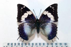 (Charaxes smaragdalis homonymus - BC-Basq1851)  @14 [ ] Unspecified (default): All Rights Reserved  Unspecified Unspecified