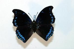 (Charaxes lycurgus - BC-Basq1853)  @13 [ ] Unspecified (default): All Rights Reserved  Unspecified Unspecified