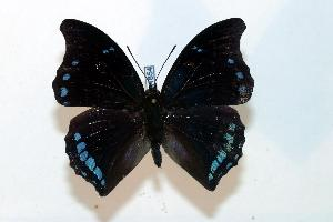 (Charaxes lycurgus - BC-Basq1854)  @13 [ ] Unspecified (default): All Rights Reserved  Unspecified Unspecified