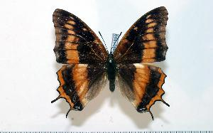 (Charaxes taverniersi - BC-Basq1859)  @14 [ ] Unspecified (default): All Rights Reserved  Unspecified Unspecified