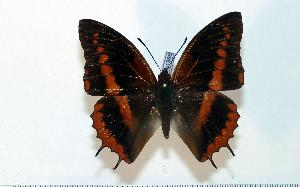 (Charaxes cynthia - BC-Basq1866)  @14 [ ] Unspecified (default): All Rights Reserved  Unspecified Unspecified