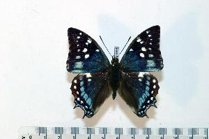 (Charaxes viossati - BC-Basq1868)  @14 [ ] Unspecified (default): All Rights Reserved  Unspecified Unspecified