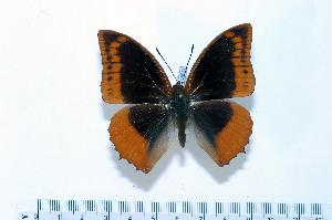 (Charaxes protoclea azota - BC-Basq1869)  @14 [ ] Unspecified (default): All Rights Reserved  Unspecified Unspecified