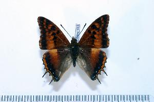 (Charaxes tectonis tectonis - BC-Basq1883)  @13 [ ] Unspecified (default): All Rights Reserved  Unspecified Unspecified