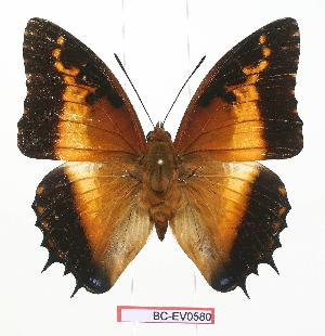 (Charaxes pollux maua - BC-EV0580)  @14 [ ] Unspecified (default): All Rights Reserved  Unspecified Unspecified