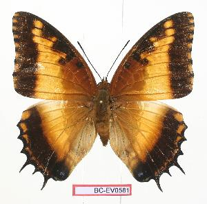 (Charaxes pollux maua - BC-EV0581)  @14 [ ] Unspecified (default): All Rights Reserved  Unspecified Unspecified