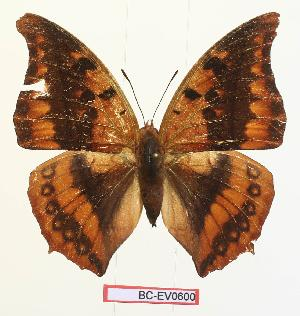(Charaxes nichetes nichetes - BC-EV0600)  @14 [ ] Unspecified (default): All Rights Reserved  Unspecified Unspecified