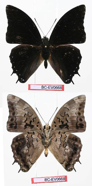 (Charaxes etheocles - BC-EV0668)  @14 [ ] Unspecified (default): All Rights Reserved  Unspecified Unspecified