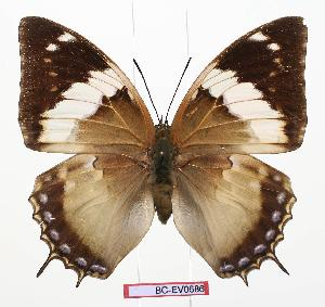 (Charaxes murphyi - BC-EV0686)  @15 [ ] Unspecified (default): All Rights Reserved  Unspecified Unspecified
