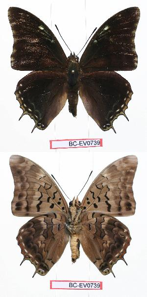(Charaxes cedreatis gui01 - BC-EV0739)  @14 [ ] Unspecified (default): All Rights Reserved  Unspecified Unspecified
