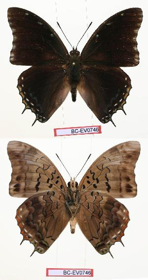 (Charaxes cedreatis - BC-EV0746)  @15 [ ] Unspecified (default): All Rights Reserved  Unspecified Unspecified