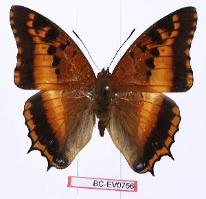 (Charaxes phoebus - BC-EV0756)  @14 [ ] Unspecified (default): All Rights Reserved  Unspecified Unspecified