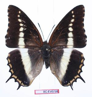 (Charaxes junius somalicus - BC-EV0759)  @15 [ ] Unspecified (default): All Rights Reserved  Unspecified Unspecified
