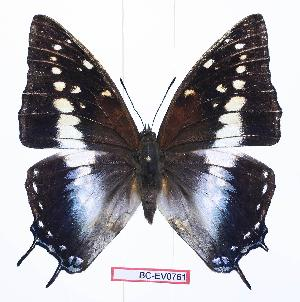 (Charaxes etesipe abyssinicus - BC-EV0761)  @14 [ ] Unspecified (default): All Rights Reserved  Unspecified Unspecified