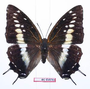 (Charaxes etesipe hercules - BC-EV0763)  @14 [ ] Unspecified (default): All Rights Reserved  Unspecified Unspecified