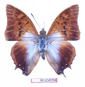 (Charaxes lactetinctus ungenmachi - BC-EV0764)  @14 [ ] Unspecified (default): All Rights Reserved  Unspecified Unspecified